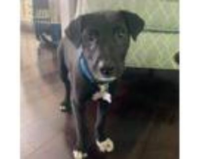 Adopt Indian Ocean a Black Border Collie / Mixed dog in Shawnee, KS (31677120)