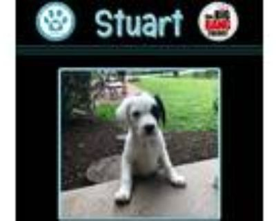 Adopt Stuart (Big Bang Theory Pup) a White - with Black Pointer dog in