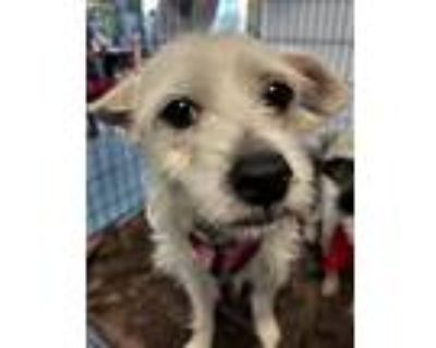 Adopt DONALI a Tan/Yellow/Fawn Terrier (Unknown Type, Medium) / Mixed dog in