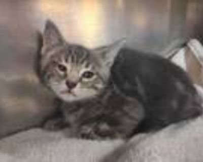 Adopt Beefalo a Gray or Blue Domestic Shorthair / Domestic Shorthair / Mixed cat