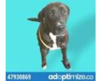 Adopt 47930869 a Brown/Chocolate Labrador Retriever / Mixed dog in El Paso