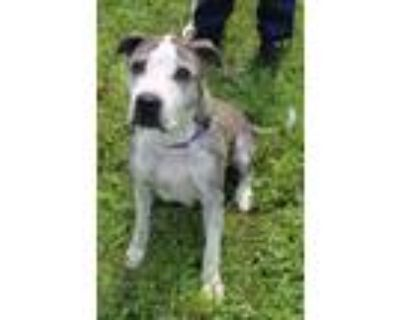 Adopt Florence a Boxer, American Staffordshire Terrier