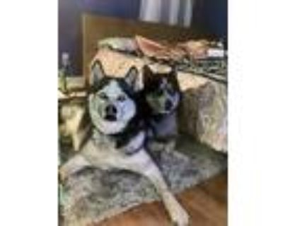 Adopt Emma and Steele a Black - with White Husky / Mixed dog in West Allis