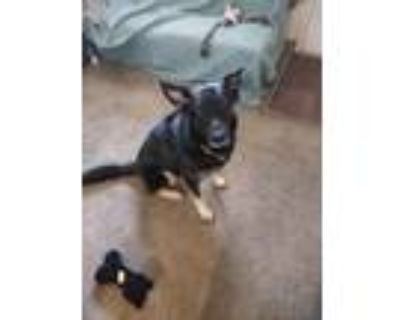 Adopt Outbound or Outtie a Black - with White German Shepherd Dog / Mixed dog in