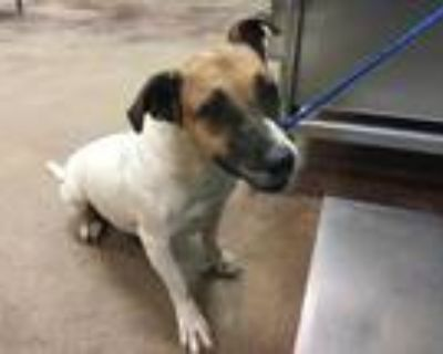 Adopt Dog a White Jack Russell Terrier / Beagle / Mixed dog in Thousand Palms