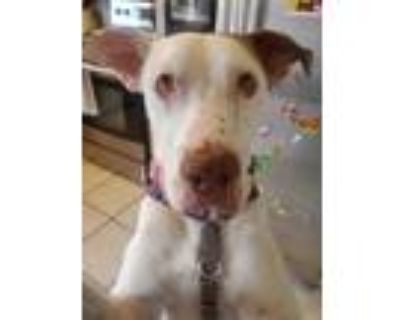 Adopt Floppy a White - with Brown or Chocolate Shepherd (Unknown Type) / Hound