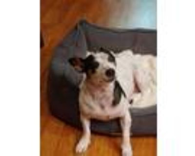 Adopt Wishes a White - with Black Dachshund / Rat Terrier / Mixed dog in