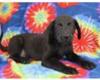 Adopt Griffin a Labrador Retriever, Mixed Breed