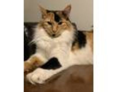 Adopt Duchess a Calico or Dilute Calico Domestic Longhair / Mixed (long coat)