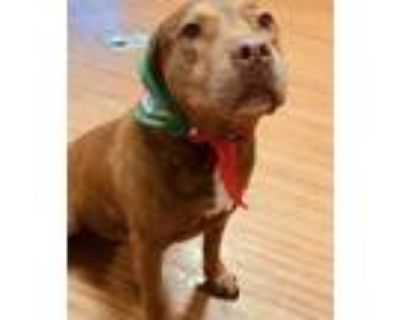 Adopt Lady a Staffordshire Bull Terrier