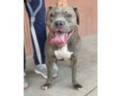 Adopt Gracie Lou a American Staffordshire Terrier, Mixed Breed