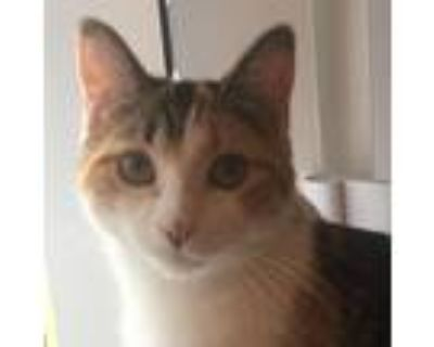 Adopt Joloppy a Domestic Shorthair / Mixed cat in St. Paul, MN (32061561)
