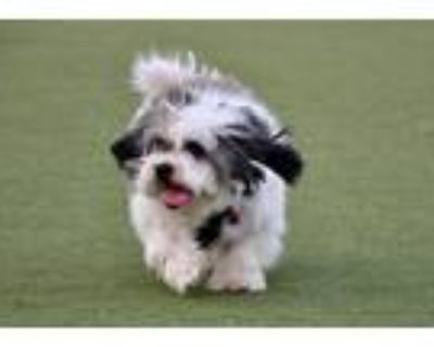 Adopt Abu a White - with Brown or Chocolate Shih Tzu / Poodle (Standard) / Mixed