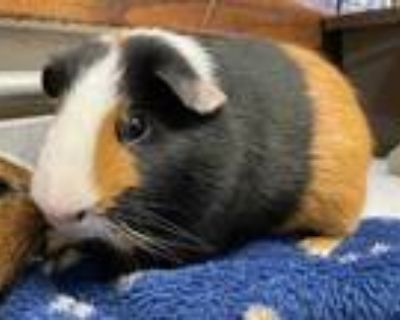 Adopt Parker a Black Guinea Pig / Mixed small animal in Dayton, OH (29287867)