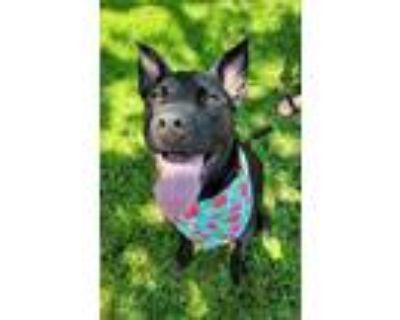 Adopt Shadow a Black Shepherd (Unknown Type) / Pit Bull Terrier dog in Amherst