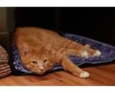 Adopt Baby Huey a Orange or Red Tabby Domestic Shorthair (short coat) cat in