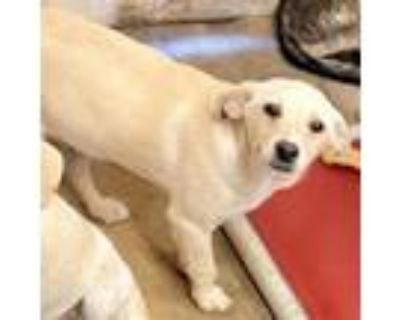 Adopt Maui Blooms a Tan/Yellow/Fawn Labrador Retriever / Mixed dog in Mission