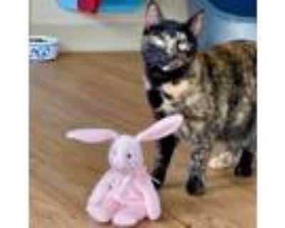 Adopt RF Ziggy a Domestic Mediumhair / Mixed (medium coat) cat in Cambria
