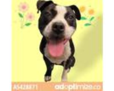 Adopt a Black - with White American Pit Bull Terrier / Mixed dog in Gardena