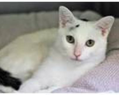 Adopt Gorby a White Domestic Shorthair / Domestic Shorthair / Mixed cat in