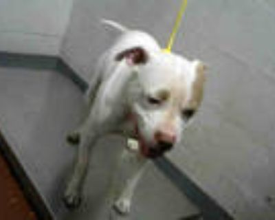 Adopt PINK DIAMOND a White - with Brown or Chocolate American Pit Bull Terrier /