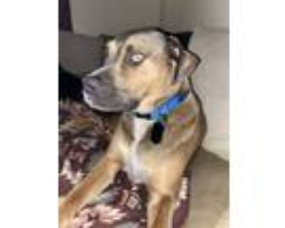 Adopt Hank a Tricolor (Tan/Brown & Black & White) Hound (Unknown Type) / Mixed