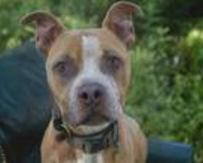 Adopt HERCULES a Pit Bull Terrier, Boxer