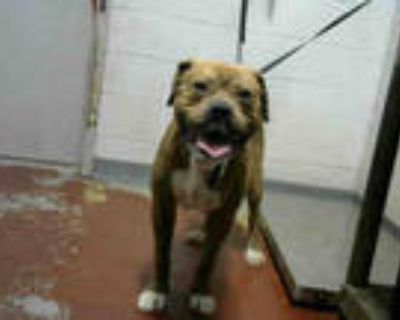 Adopt TOOT a Tan/Yellow/Fawn - with White American Pit Bull Terrier / Mixed dog