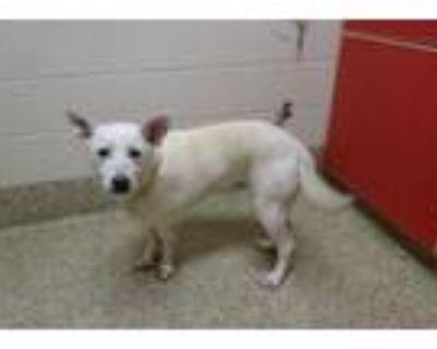 Adopt HEIDI a Labrador Retriever, Mixed Breed
