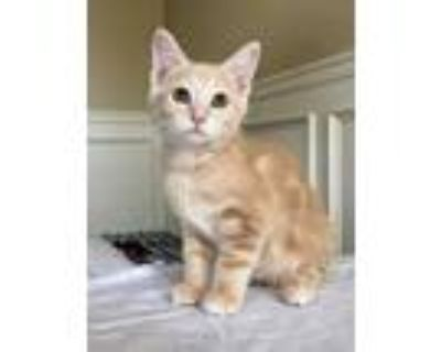 Adopt Buffy Kitten a Brown or Chocolate Domestic Shorthair / Mixed (short coat)