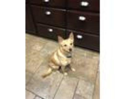 Adopt Maxwell (Max) a Red/Golden/Orange/Chestnut Pomeranian / Labrador Retriever