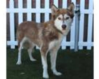 Adopt a Brown/Chocolate - with White Husky / Mixed dog in Modesto, CA (32069379)