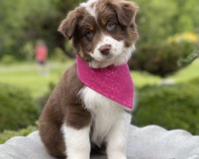 GUARDIAN FAMILY WANTED CKC Australian Shepherd Puppy!