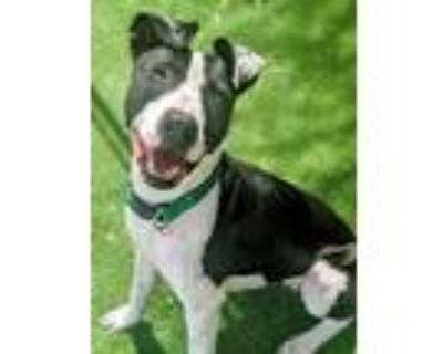 Adopt Phish a Black - with White American Pit Bull Terrier / Mixed dog in