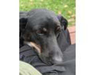 Adopt Oscar a Black - with Tan, Yellow or Fawn Labrador Retriever / Hound