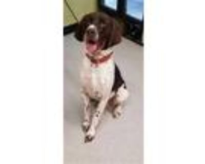Adopt HAUSS a Brown/Chocolate - with White German Shorthaired Pointer / Mixed