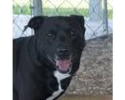 Adopt Boss a Black - with White Labrador Retriever / Mixed dog in Troy