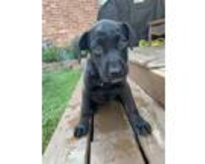 Adopt Aqua a Labrador Retriever