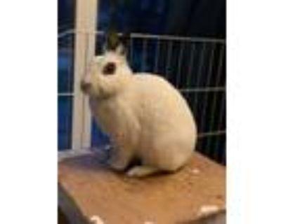 Adopt Covina a White Dwarf Hotot / Mixed (medium coat) rabbit in Escondido