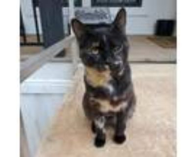 Adopt Speckles a Domestic Short Hair