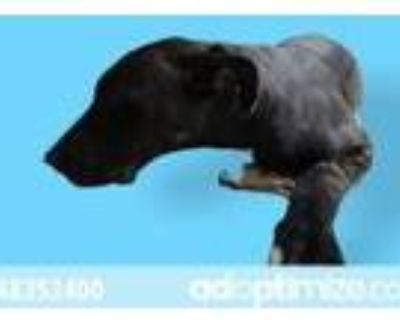 Adopt 48352400 a Black American Pit Bull Terrier / Mixed dog in El Paso