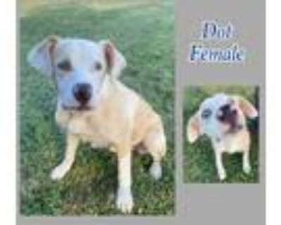 Adopt Dottie a Tan/Yellow/Fawn - with White Beagle / Mixed dog in newfoundland