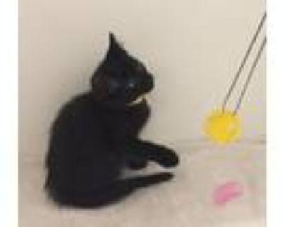 Adopt Dorothy Tag 47816597 a Domestic Short Hair