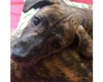 Adopt Wit a Brindle Boxer / Labrador Retriever / Mixed dog in Staten Island