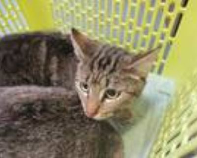 Adopt Sass (bonded with Sis) a Brown Tabby Domestic Shorthair / Mixed cat in