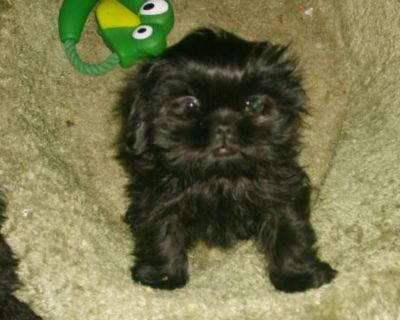 I am Looking for A Male Shih tzu With Full AKC
