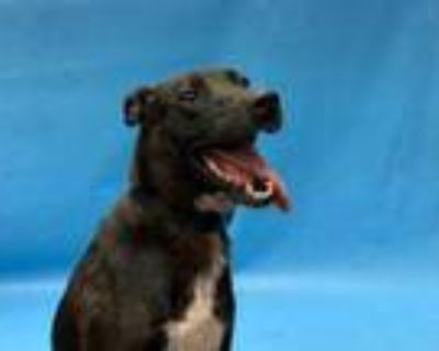 Adopt Girl a Black Shepherd (Unknown Type) / American Pit Bull Terrier / Mixed