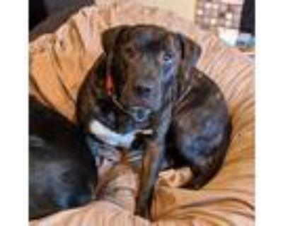Adopt Cinnamon a Brindle - with White Pit Bull Terrier / American Staffordshire