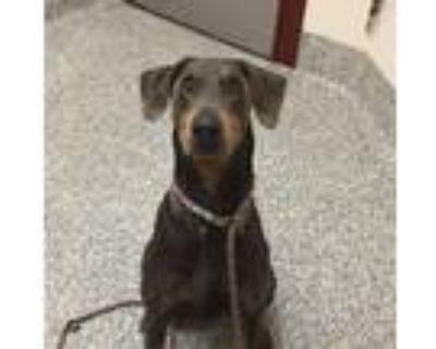 Adopt Zeus a Doberman Pinscher / Mixed dog in Golden, CO (31601670)