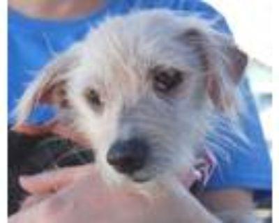 Adopt Bonnie a West Highland White Terrier / Westie, Yorkshire Terrier